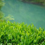 茶摘み写真集1